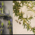 Make It: Rosemary Lavender Simple Syrup